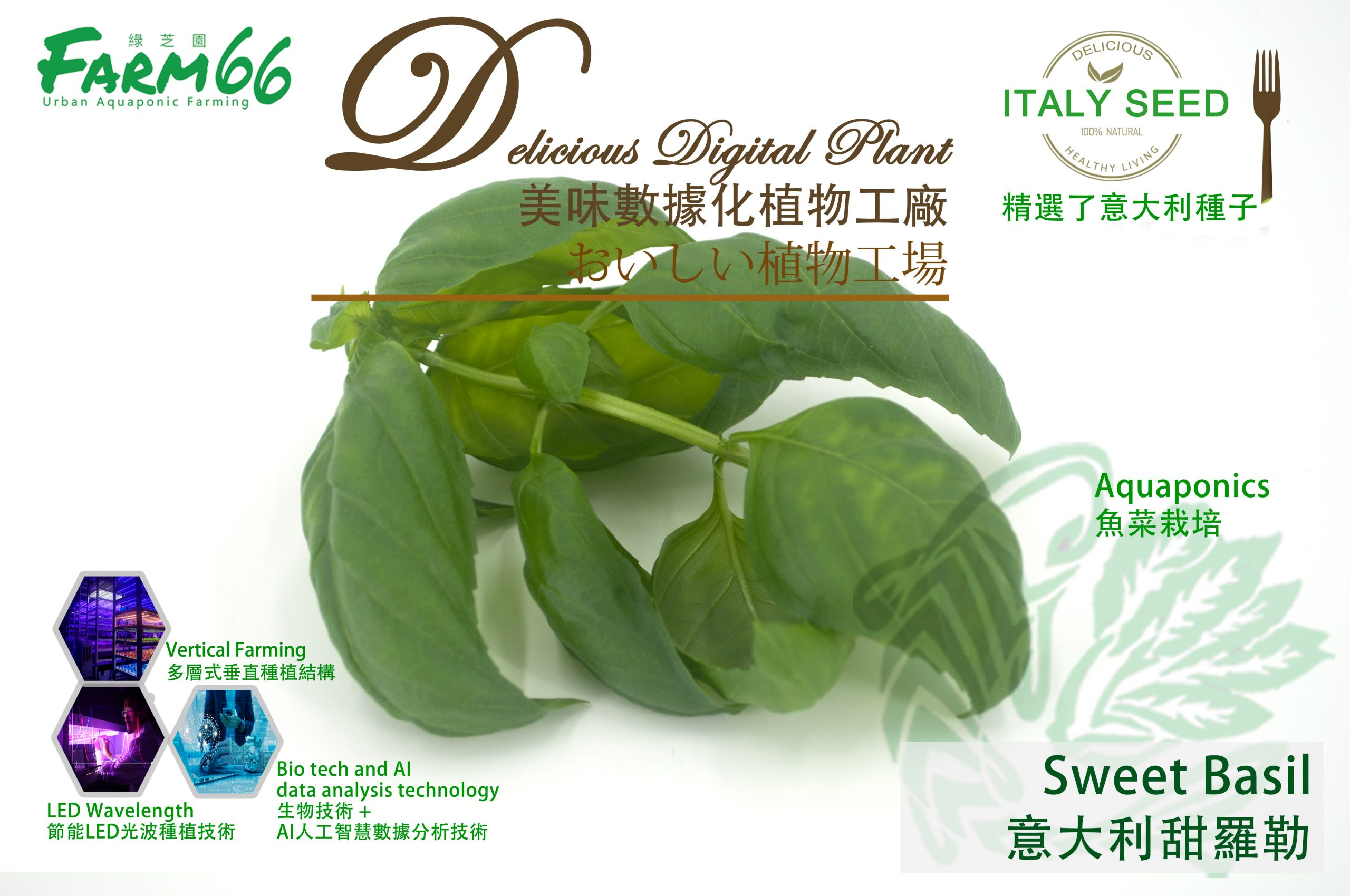 Basil-意大利種子